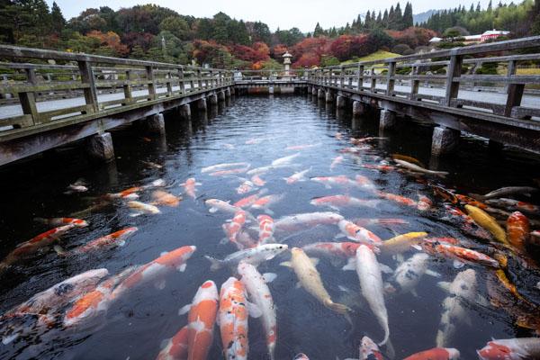 広島の三景園のコイ
